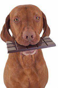 Los alimentos no deben comer los perros - chocolate