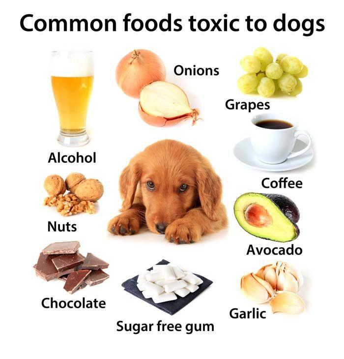 Perros alimentos no debe comer - alimentos humanos que son peligrosos para los perros