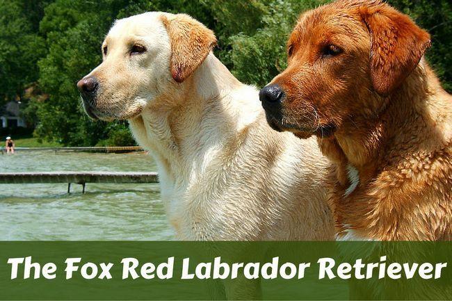 Fox labrador retriever rojo