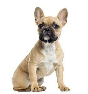 Perfil francГ©s Bulldog Breed