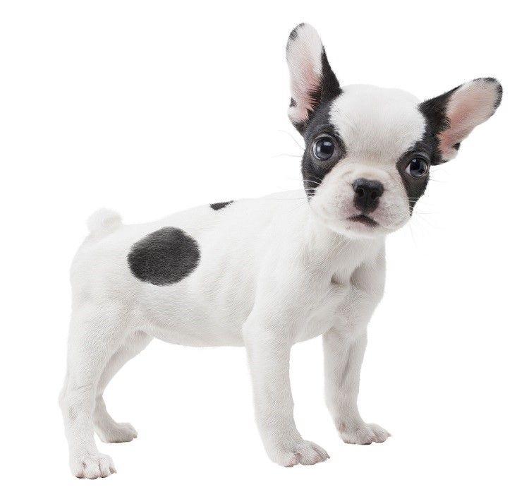 perro del dogo francés