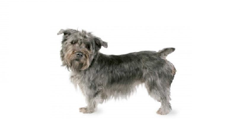 Cañada de Imaal Terrier