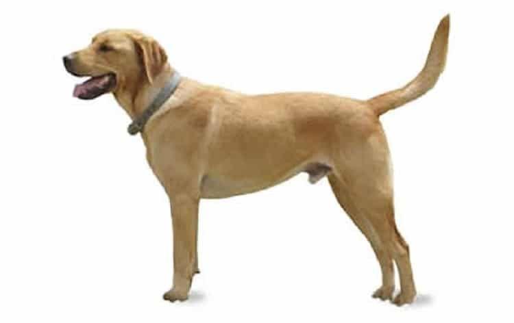 perro Goldador