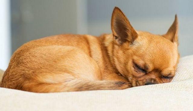 Buenas noches: la lengua detrás de la posición de sueño del perro