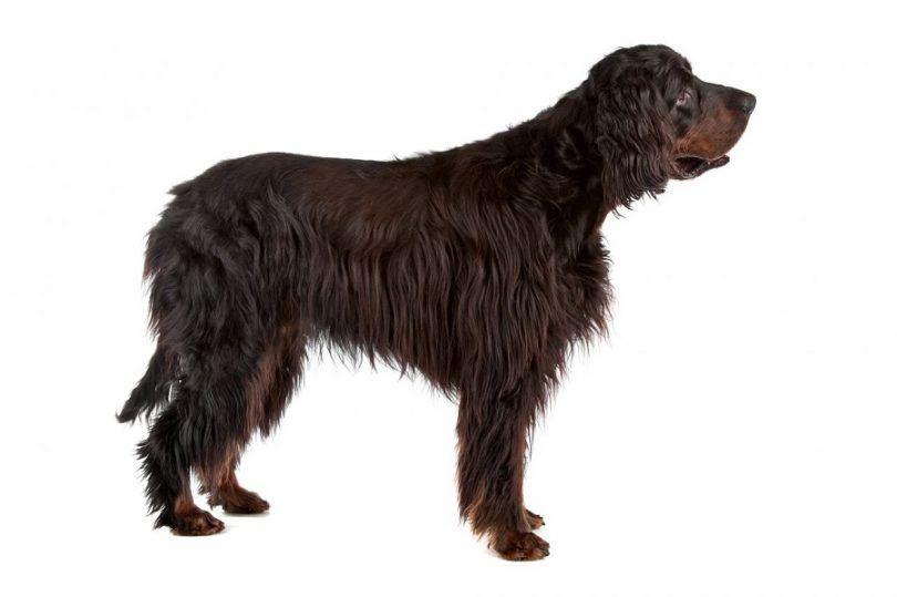 Gordon perro de raza Setter