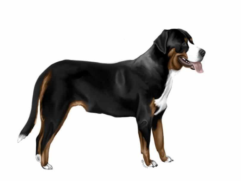 La raza del perro de montaña Gran suizo