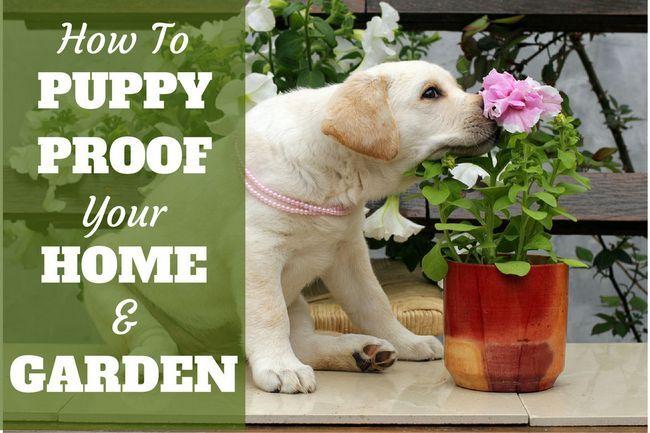 Como el perrito prueba de su casa y el jardín escritos junto a un cachorro de laboratorio amarillo que huele una flor