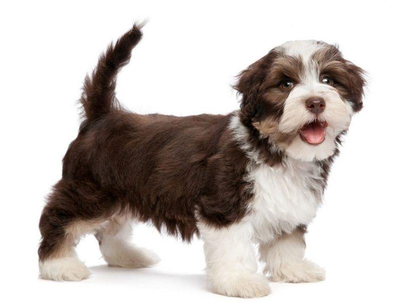 perro havanese