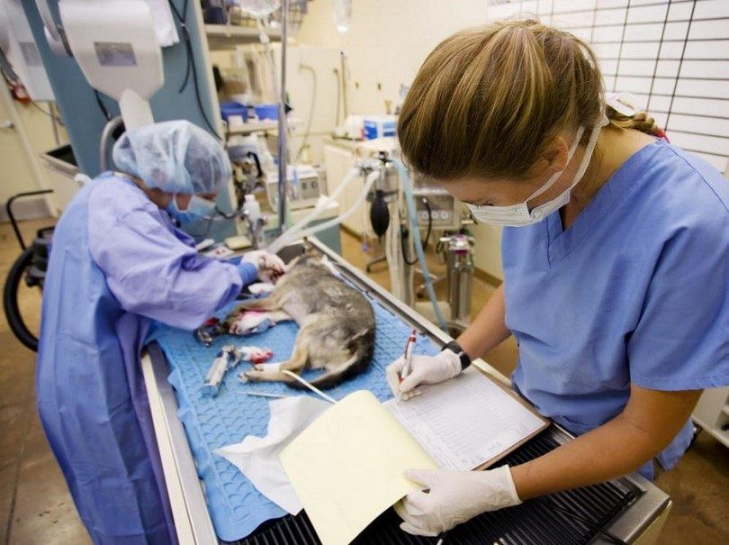 Perro en el veterinario con el gusano del corazón