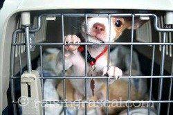 Chihuahua cachorro en su jaula