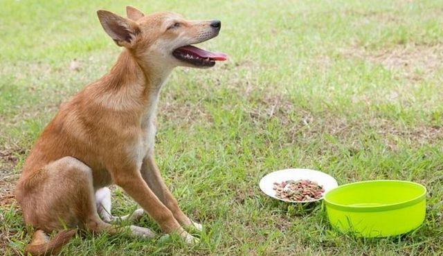 ¡Ayuda! Mi perro no quiere comer!