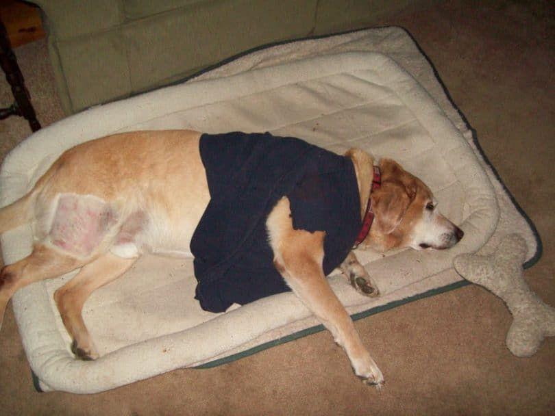 perros diagnosticados con hemangiosarcoma