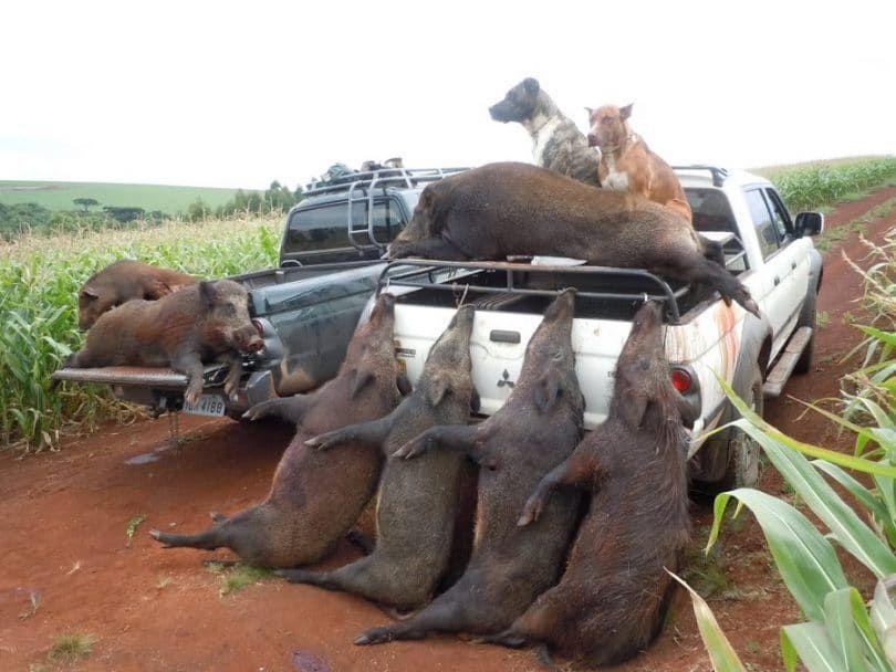 Hog caza