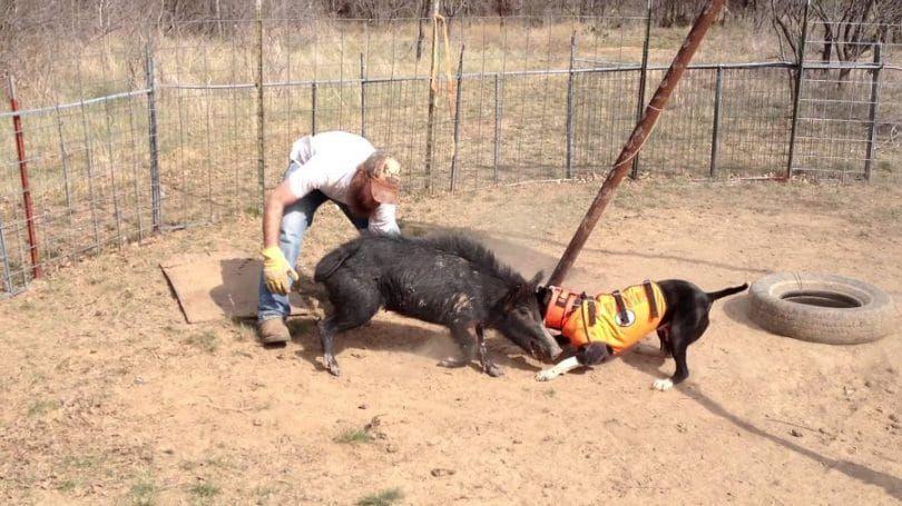 Hog perro de formación