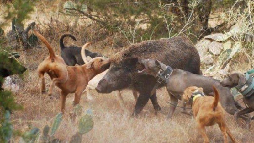 Rhodesian Ridgebacks con cerdo