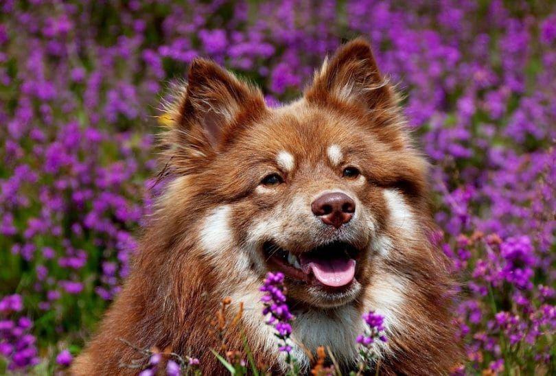 Perro en el campo de lavanda