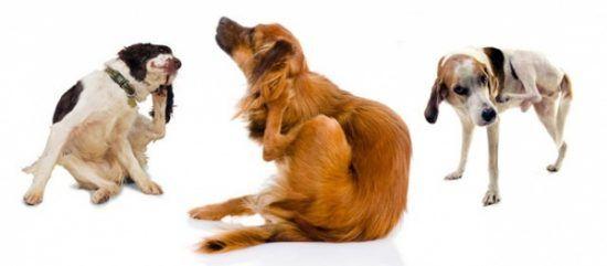 Los remedios caseros para la sarna en perros