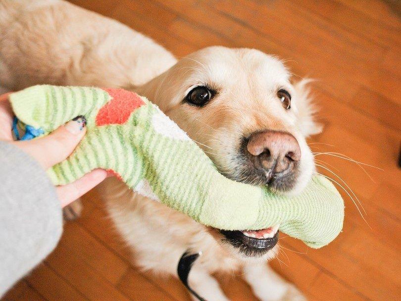 Hacer un juguete para su perro fuera de los calcetines