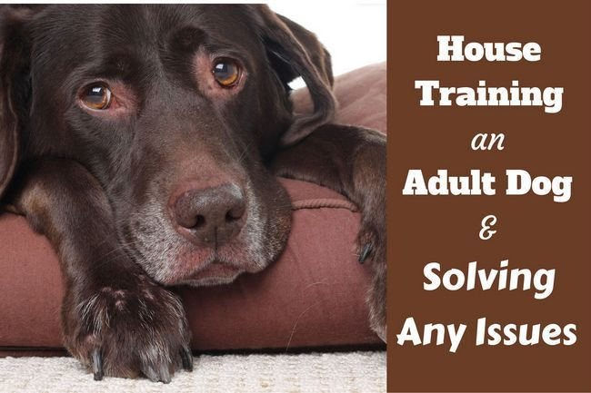 La casa que entrena a un perro adulto: un laboratorio de choc ancianos acostado en una cama