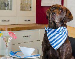 Chocolate Labrador en ktichen servilleta que llevaba esperando por la comida