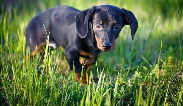 ¿Qué tan grande será conseguir mi cachorro?