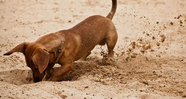 Pequeño perro que cava en la arena