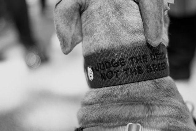 ¿Cómo se puede ayudar a los pitbulls de montreal?