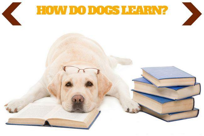 ¿Cómo aprenden los perros escriben encima de un Labrador amarillo se extiende sobre un libro abierto