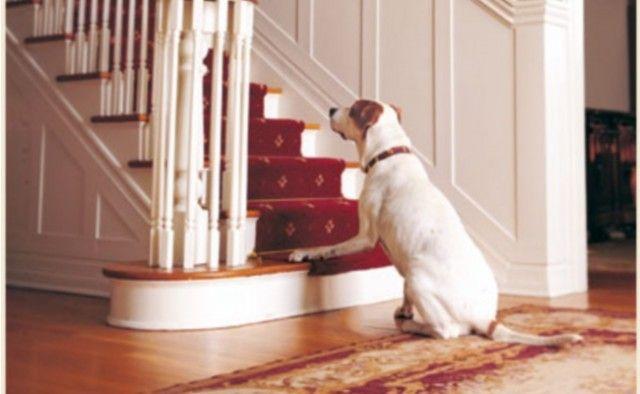 La artritis del perro Escaleras CГіmo ayudar a un perro con artritis en casa