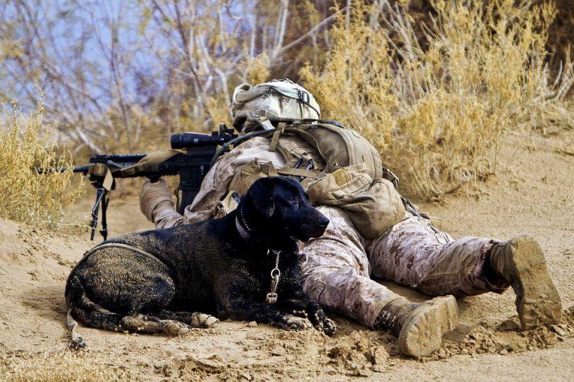 Labrador en el combate assiting