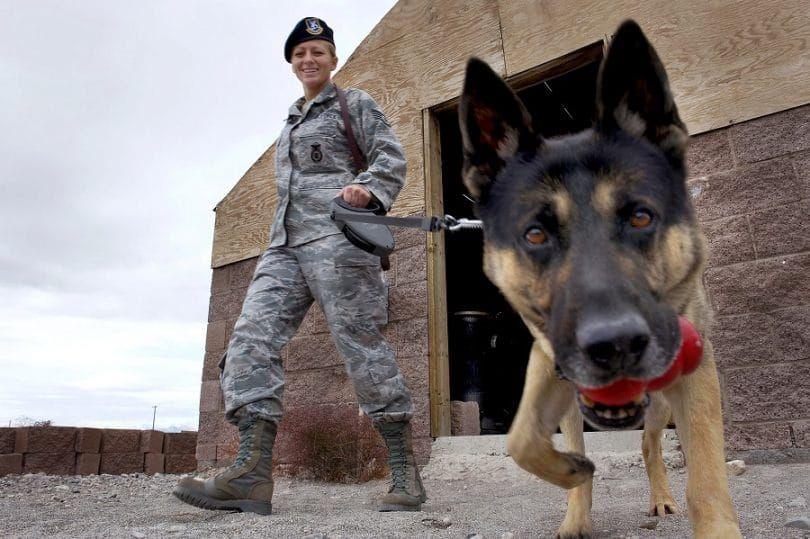 militar del perro olfateando
