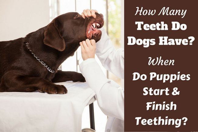 ¿Cuántos dientes tienen los perros? ¿Cuándo los cachorros pierden sus dientes?