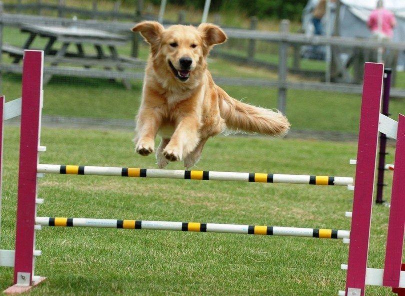 El entrenamiento del perro de la agilidad