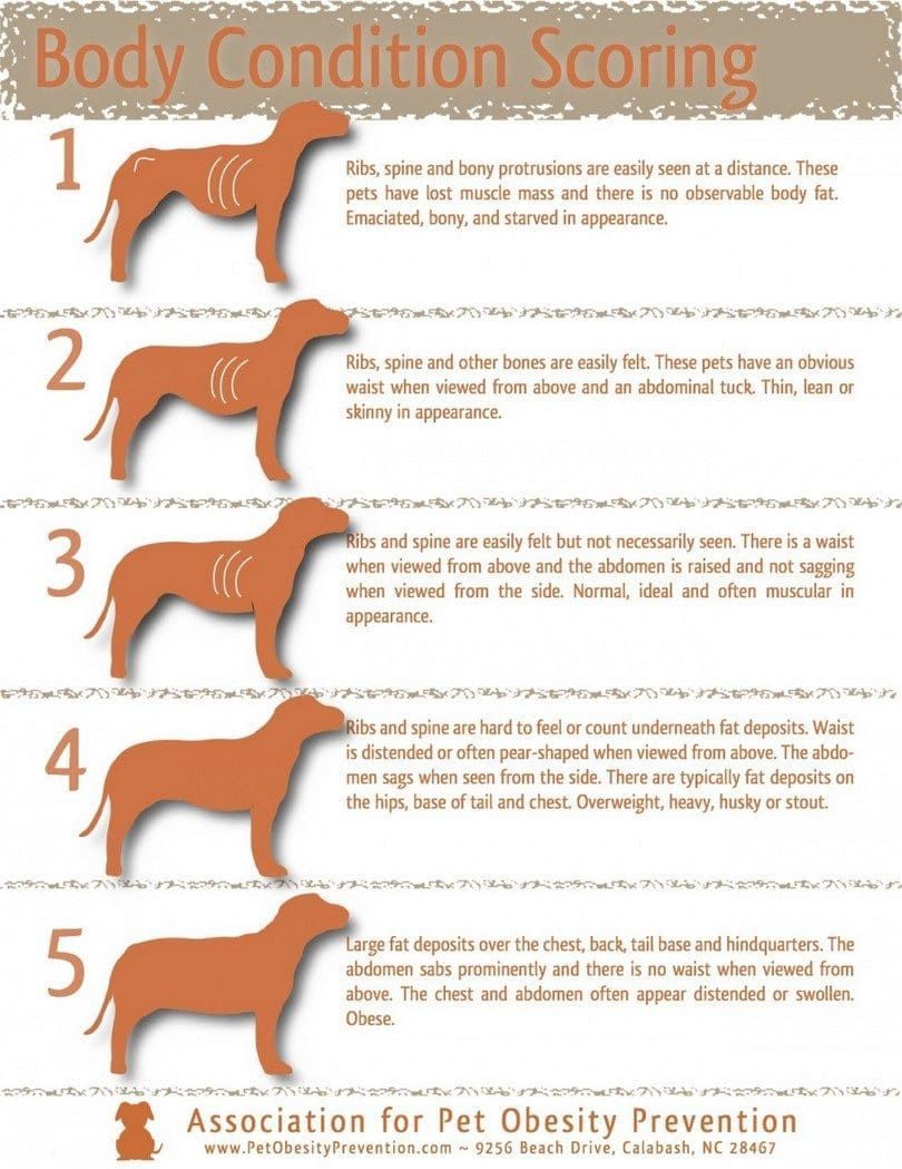 Perro condición corporal infografía