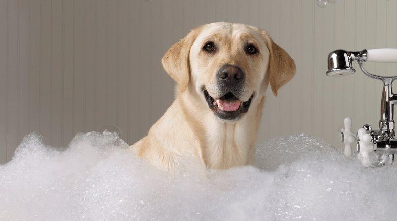 Cómo bañar a un perro correctamente: los procedimientos de lavado