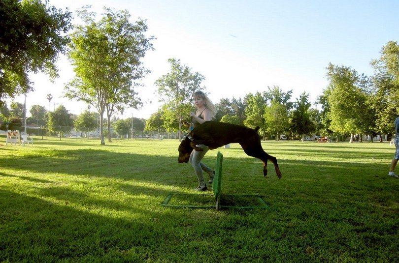 El entrenamiento del perro agilidad y obediencia