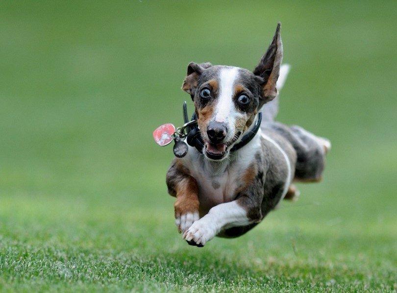 Cómo calmar a un perro hiperactivo: consejos y trucos para redirigir la energía de su perro