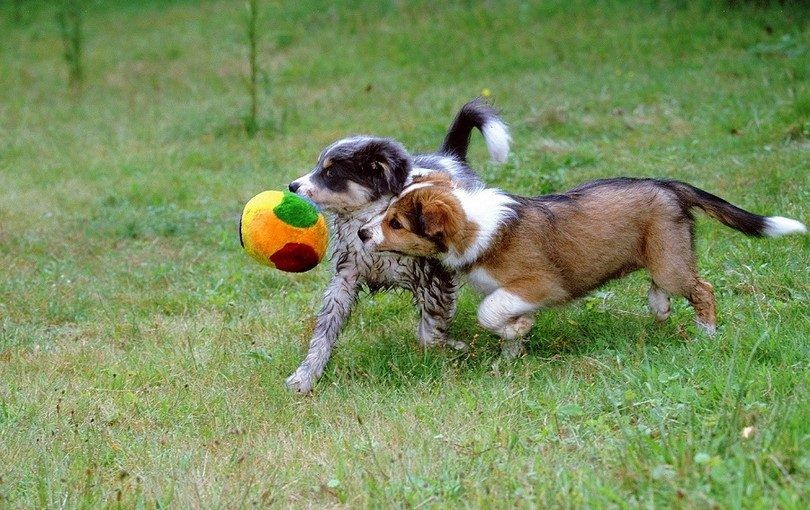 Los cachorros que juegan