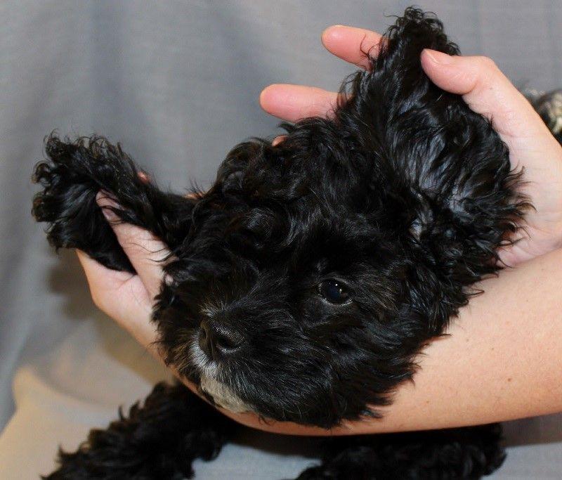 Cachorro con las orejas limpias
