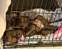 cachorro de laboratorio para dormir sobre su espalda en un cajón