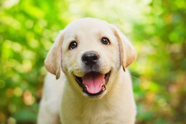 Una cara amarilla sonriente cachorro de labrador