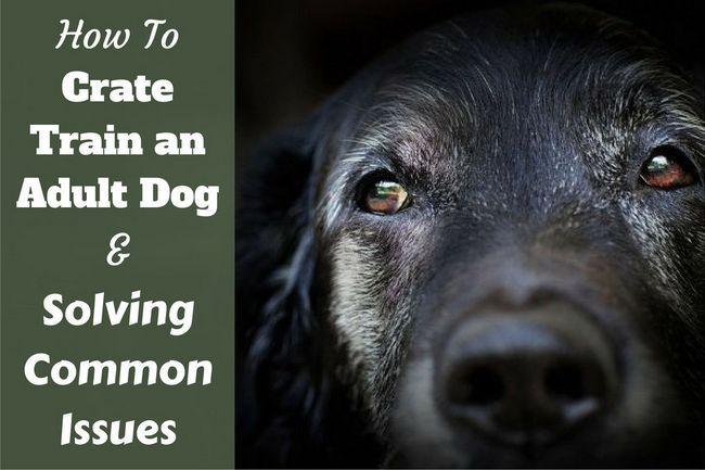 Cómo tren del cajón un perro más viejo - una foto retrato de un Labrador bozal gris sabia