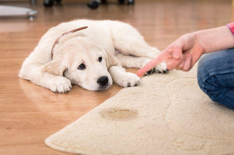 Perro orina en la alfombra