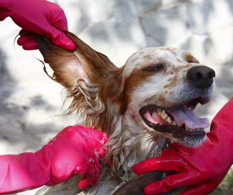 perro de la limpieza`s ear