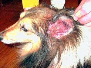 ¿Cómo deshacerse de los ácaros del oído en los perros - tratamientos y remedios caseros