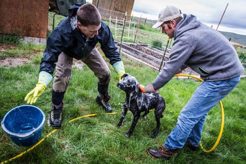 Cómo conseguir el olor de la mofeta de perro: métodos de limpieza eficaces para la eliminación de olores