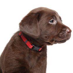 Vista lateral del perrito del laboratorio del choc en un collar rojo