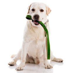 Un perrito amarillo del laboratorio con una correa verde en la boca