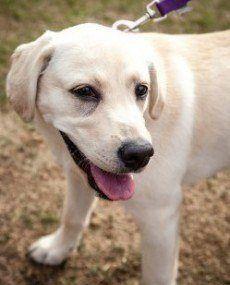 Feliz del perrito de Labrador caminar sobre una correa