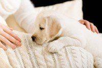Blanco Labrador cachorro tumbado sobre la colcha blanca cerca de las manos de la mujer